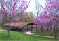 Redbud trees in full bloom at Redbud Picnic Shelter.
